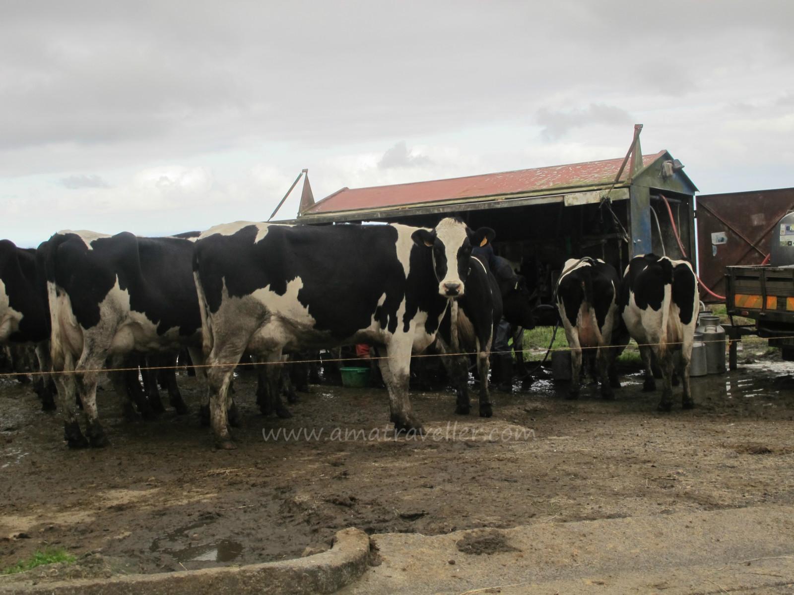 Kuwait Dairy Farm